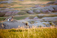 A big horn sheep admires the view from high above the prairie in Badlands National Park, South Dakota.