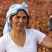 Wine Harvest Spain