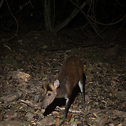The Fea's Muntjac or Tenasserim muntjac (Muntiacus feae) is a rare species of muntjac native to China, Laos, Burma, Thailand and Vietnam.