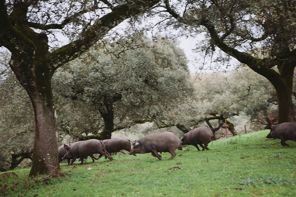 Iberico pigs roam free at the Finca Al Cornocal, Extramadura (Barajoz Province), Spain.