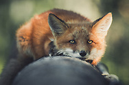 A young red fox (Vulpus vulpus) rests on an old log. Yukon Territory, Canada