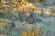 Trophy Mule deer buck in habitat