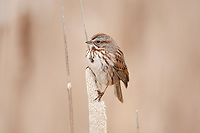 A Song Sparrow perched on a cattail this sparrow is common around marshes and wetlands.