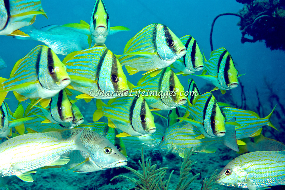 Porkfish inhabit reefs in Tropical West Atlantic; picture taken Key Largo, FL.