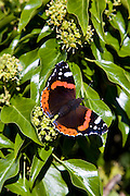 Red Admiral butterfly, the Cotswolds, Oxfordshire, United Kingdom