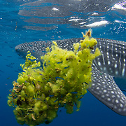 Whale shark (Rhincodon typus) swimming past a clump of seaweed, Honda Bay, Palawan, the Philippines.