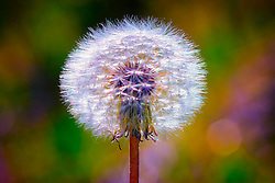 A puffy white dandelion in the yard with pastel colors in the background