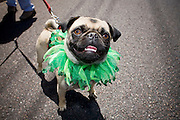 14 APRIL 2007 -- PHOENIX, AZ: A dog in a green frilly collar at the annual Gay Pride Parade in Phoenix, AZ. Thousands of people attended the annual event. Photo by Jack Kurtz / ZUMA Press