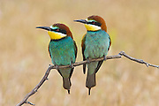 Bee-eaters (Merops apiaster). Couple perched on branch.