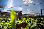 Organic crops are imported from Costa Rica and then feed to grow for several weeks. Then they will be ready to be transplanted in the company land or maybe they will be sold to another farmer