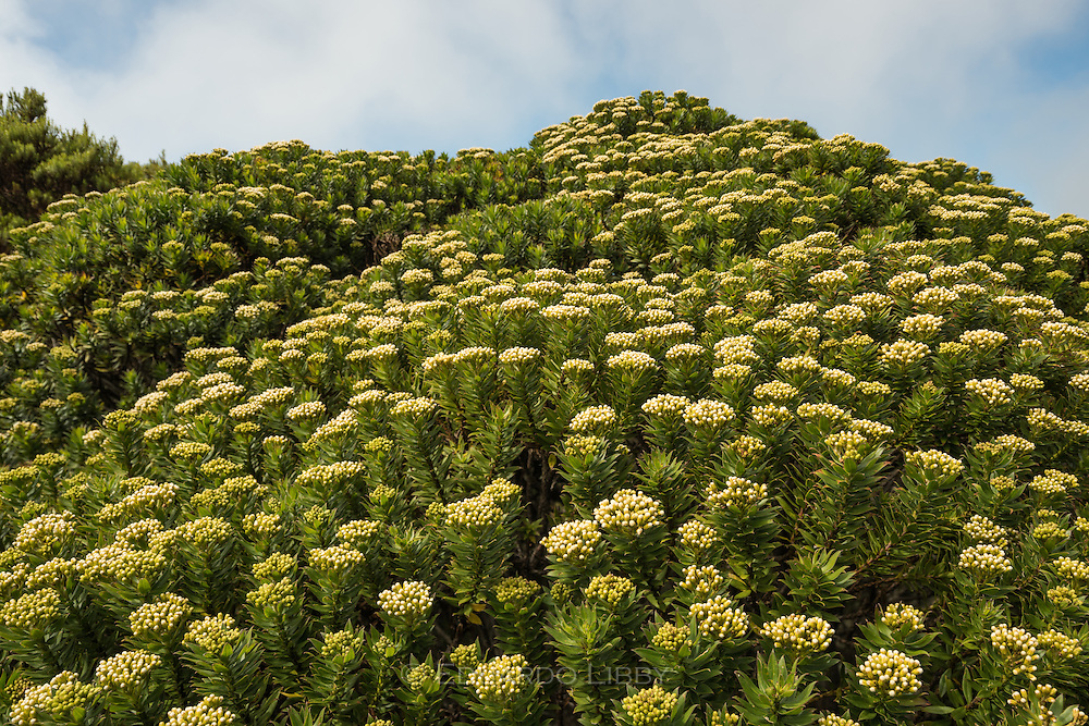 The shrub Pentacalia firmipes in full bloom, with many white inflorescences. Cerro de la Muerte, Costa Rica. Photo by Eduardo Libby