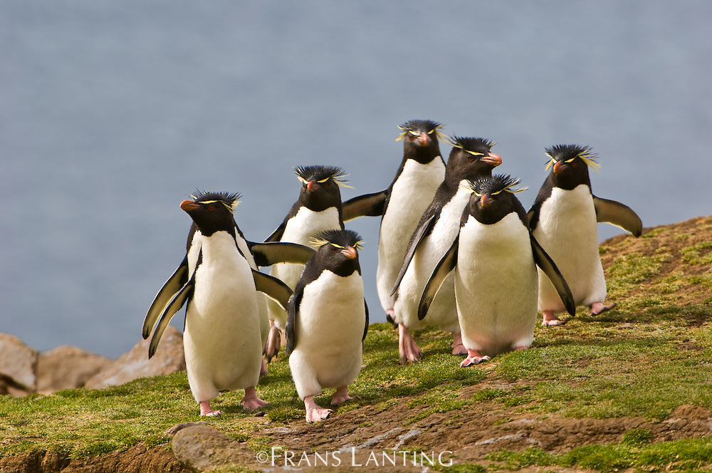 Rockhopper penguins, Eudyptes chrysocome, Saunders Island, Falkland Islands