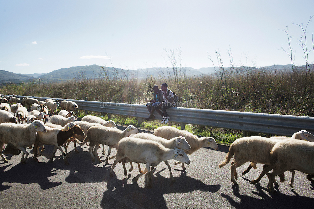 MINEO, ITALY - 14 NOVEMBER 2014: (L-R) Asylum seekers from Gambia Abba Dampha, 23, and Jacop Camara, 25, sit on the guardrail as sheeps pass by on the road towards the CARA (Accommodation Centre for Asylum Seekers) in Mineo where approximately 4,000 asylum seekers live, in Mineo, Italy, on November 14th 2014.<br /> <br /> By law, asylum-seekers can be held for 35 days in a CARA. In reality, the average stay is closer to a year.The Cara is located at the &quot;Residence degli Aranci&quot; (Residence of the Oranges), a small town built to accomodate the families of US soldiers operating at the Naval Air Station of Sigonella 40km away. Since 2011 the &quot;Residence degli Aranci&quot; hosts the Accommodation Center for Asylum Seekers, which has since then hosted more than 12,000 seekers of 47 nationalities and over 200 ethnic groups.  The CARA of Mineo includes 404 houses. Each housts from 7 to 11 asylum seekers.