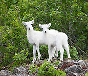 Dall Sheep (Orvis dalli) lambs wiating and watching, before descending in the mountains along Turnagain Arm, Chugach State Park.