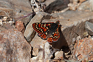 Euphydryas editha nubigena - Cloud-born Checkerspot