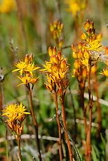 Nartheciaceae, Beenbreekfamilie