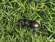 Black Clock Beetle - Pterostichus madidus