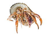 Studio portrait of a hermit crab wearing a shell on a white backdrop.