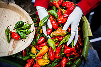 Naga chilis are transported to the chili eating competition at the Hornbill Festival in Nagaland, India. Young girls wear gloves to move the chilis, as their oils can be vicious on the skin and membranes if broken or mishandled.