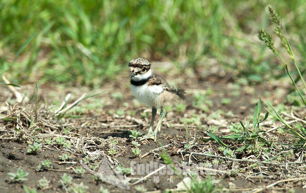 A Killdeer chick only a few weeks old walks at the edge of the tall grass.