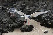 Lava gull on Genovesa island in the Galapagos archipelago of Ecuador.