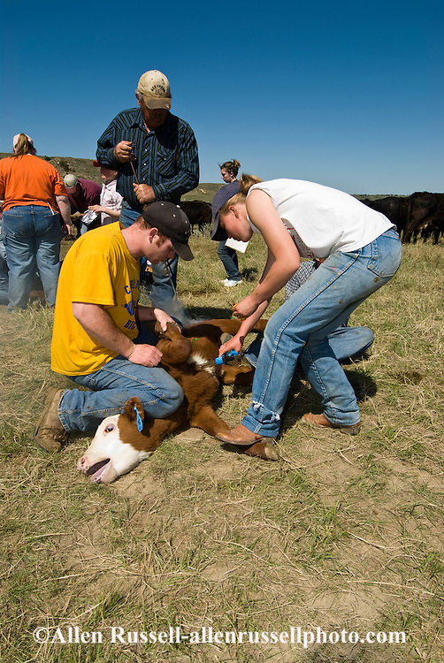 Branding, Cowgirl, Cara Cavall vaccinates calf while it is castrated and branded, east of Miles City, Montana