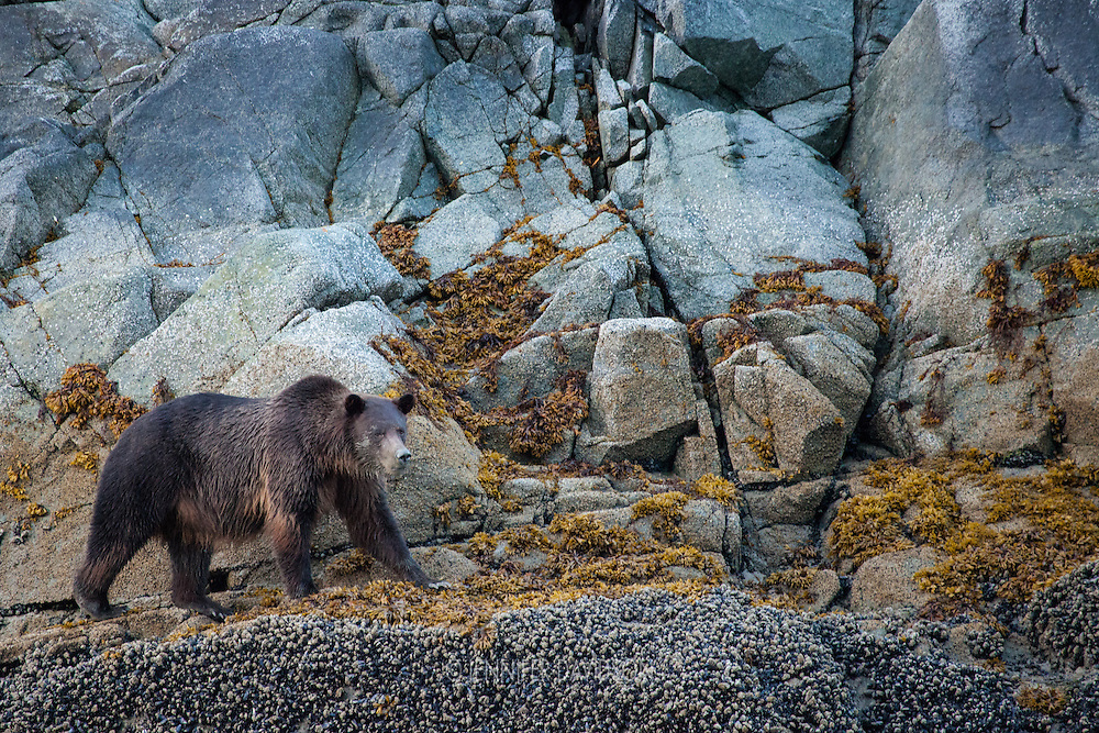 A coastal brown bear walks along the shore in Glacier Bay National Park, Alaska.