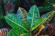 Croton plant, Kapoho, Puna, Island of Hawaii