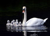 2012_05_16_Swans_SSI