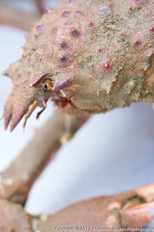 A close up of a Sheep crab caught in a carb trap at the channel Islands off the coast of Santa barbara, california.  .Large and slow moving, a sheep crab crawls along on long legs, which are segmented by big, knobby joints. Its oval-shaped body (carapace) tapers to spinelike points on its snout (rostrum), which bends sharply downward. Spines and bumps (tubercles) cover its body. Adult male sheep crabs have more formidable claws and longer legs than females. These animals are the largest members of the California spider crabs (Majidae)...To camouflage themselves, juvenile sheep crabs decorate their carapaces with barnacles, bryozoans, hydroids and algae. Adult crabs often stop decorating themselves, and a thin film of fuzzy green algae replaces the masking organisms. Divers have seen sheep crabs walking openly on sandy seafloor. Male sheep crabs spend the winter in deep water. In early spring, both sexes migrate to shallow water. Sheep crabs arent social animals but, in spring mating season, divers see adult females in piles surrounded by adult males. Since females can store sperm for multiple broods, they can continue to fertilize eggs even in the absence males. Broods can contain 125,000 to 500,000 eggs..Like all crustaceans, sheep crabs molt, or shed, their old, too-small shell. They grow a soft shell under the old carapace, back out of it, and then take in water to expand the new soft shell. In a short time the new shell hardens, and the crab has room to grow. Some species of crabs molt their entire lives, but adult sheep crabs have a terminal molt. After this molt, theyre unable to increase in size or regenerate lost limbs.