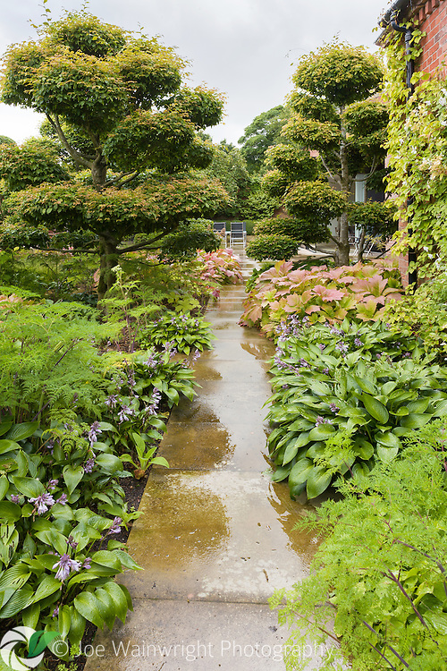 Cloud pruned hornbeams at the private NGS garden Cogshall Grange, Cheshire - pictured after rain in July