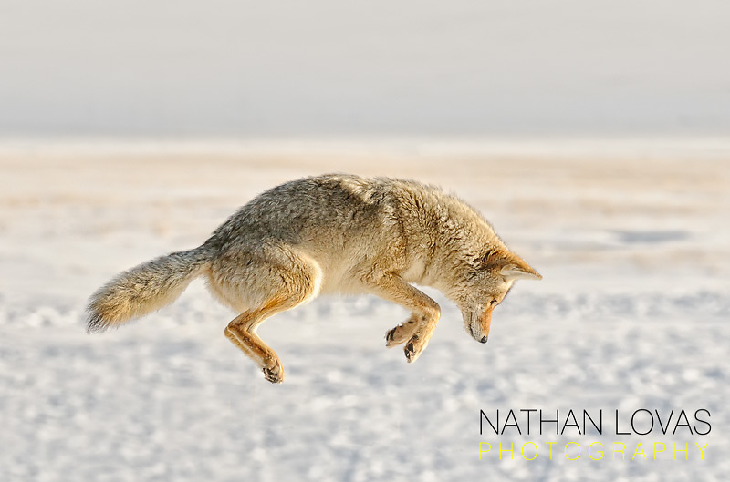 Coyote Pouncing In Snow; Yellowstone NP.