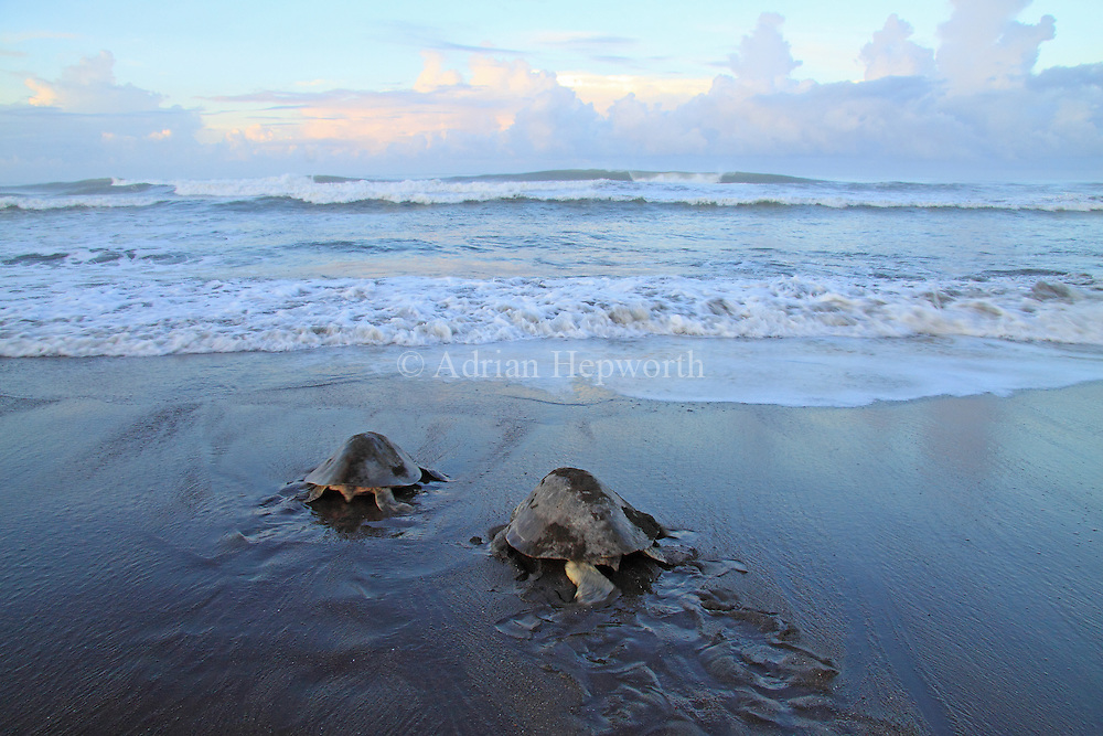 Female Olive Ridley Turtles (Lepidochelys olivacea) returning to the sea after laying eggs during an arribada. Playa Ostional, Guanacaste, Costa Rica. <br /> <br /> For pricing click on ADD TO CART (above). We accept payments via PayPal.