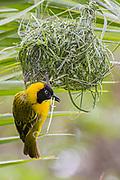 Lesser-masked Weaver, South Africa