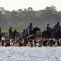 'Saltwater Cowboys' from Chincoteague Virginia, herd wild ponies from the Assateague Island Reserve to auction. The annual 'pony swim' has become a favorite of American festivals.