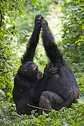 Chimpanzee<br /> Pan troglodytes<br /> Alpha male and brother showing &quot;hand clasp grooming&quot; behavior<br /> Tropical forest, Western Uganda