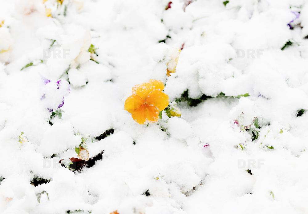 Nederland Rotterdam 23 november 2008 20081123 Foto: David Rozing .Viooltje in verse sneeuw op een van de eerste witte dagen van het jaar. ..Foto David Rozing