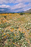 Fields of Desert Sand Verbena (Abronia villosa) and Desert Sunflower (Gerea canescens), Anza-Borrego Desert State Park, California