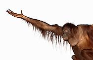 Deutschland, DEU, Krefeld, 2004: Projekt ueber die biologischen Wurzeln der Mode. Die Shootings hierfuer wurden mit Grossen Menschenaffen, die dem Menschen am naechsten sind, im Krefelder Zoo gemacht. Die Tiere waren weder zahm noch trainiert. Die Kleidungsstuecke wurden in die Gehege geworfen und was immer die Tiere damit anstellten, taten sie aus sich selbst heraus. Ein Eingreifen oder gar eine Regie war unmoeglich. Da das Verhalten der Affen im Mittelpunkt stand, wurden die Hintergruende von den Originalfotografien entfernt. Das Orang-Utan-Weibchen Sita bettelt um neue Kleidungstuecke. | Germany, DEU, Krefeld, 2004: Project to look at the basics and roots of fashion. The shootings took place in the Zoo Krefeld with three species of Great Apes who are the nearest to us. The animals were neither tamed nor trained. Whatever the animals did, they did on their own. Any intervention or directing was impossible. To set the focus on the behaviour of the animals itself we removed the background from the original photographs. Orang Utan (Pongo pygmaeus) female Sita begging for clothes. |