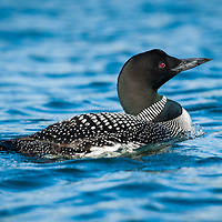 Common Loon on a lake in New Hampshire. All Content is Copyright of Kathie Fife Photography. Downloading, copying and using images without permission is a violation of Copyright.
