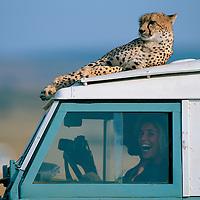 Kenya, Masai Mara Game Reserve, (MR) Cheetahs (Acinonyx jubatas) play on Land Rover truck on safari