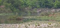 Swamp Deer, Rucervus duvaucelii, on the banks of a river, Bardiya National Park, Nepal