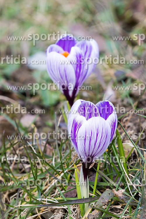 13.03.2016, Moehnesee, GER, Fruehlingserwachen in der Natur, im Bild Zwei Krokusse oeffnen ihre Blueten // Two crocuses opening their blossom at Moehnesee, Germany on 2016/03/13. EXPA Pictures © 2016, PhotoCredit: EXPA/ Eibner-Pressefoto/ Hommes<br /> <br /> *****ATTENTION - OUT of GER*****