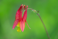 Aquilegia canadensis (Columbine)