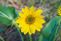 "Close-up of the flowerhead of the arrowleaf balsamroot. It is often thought the entire sunflower-like head is the flower, but what are often mistaken for the long yellow petals are actually the ray florets, and the actual flowers are the dozens of tiny ""mini-flowers"" called disk florets, and these when fertilized are what produce the seeds. This perfectly-shaped arrowleaf balsamroot was photographed on a beautiful spring day just outside of Yakima, Washington."