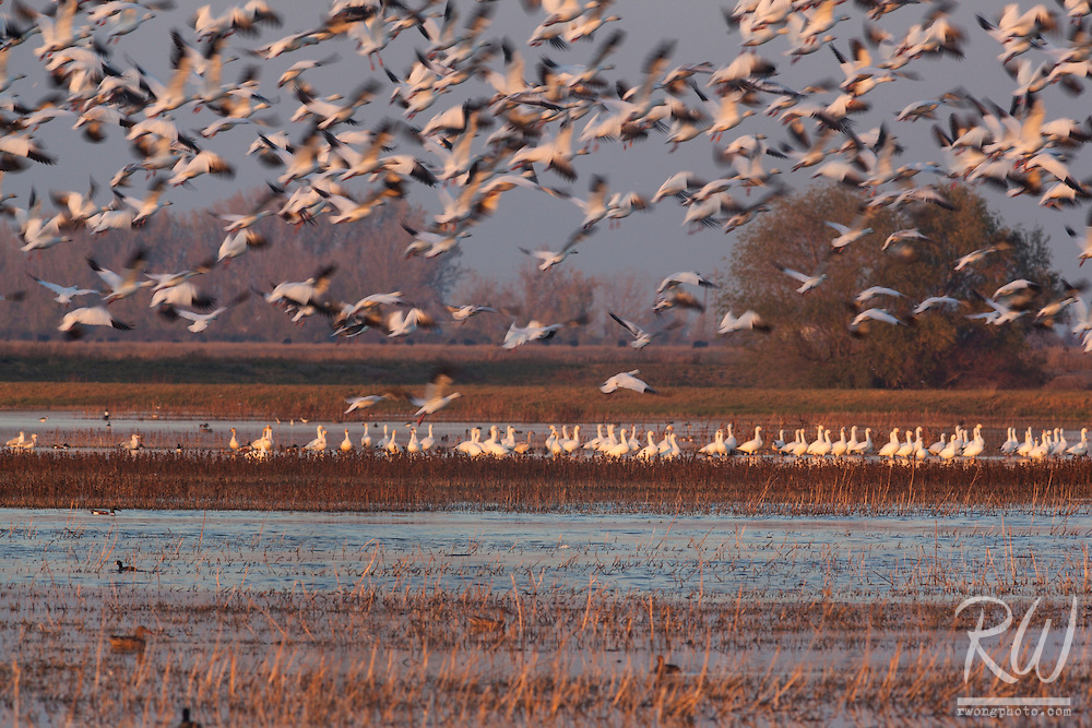 Birds Taking Off in Flight, Merced National Wildlife Refuge, California