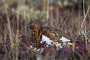 Willow ptarmigan in sub-arctic tundra habitat