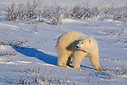 Polar Bear (Ursa maritimus) on sub-arctic Hudson Bay in evening light<br />