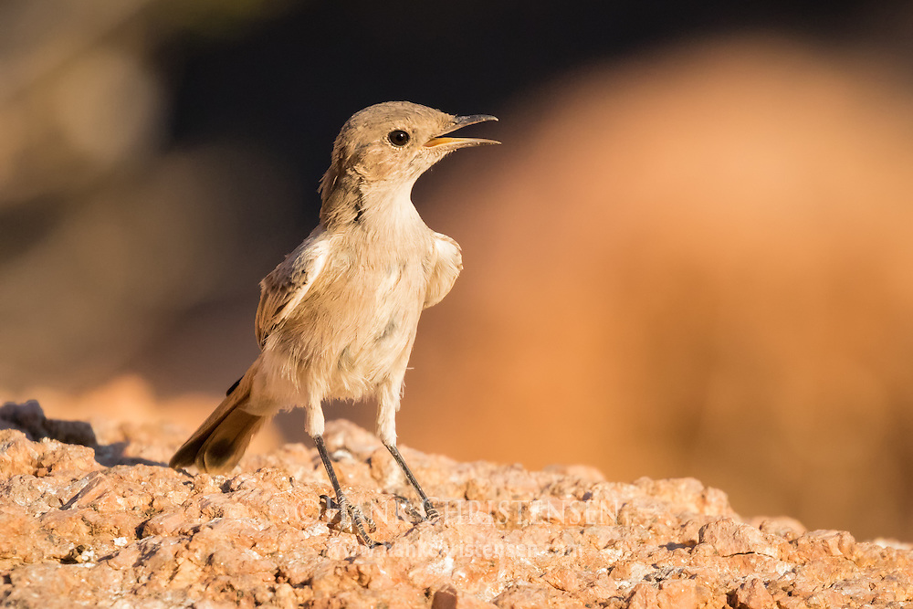 A familiar chat stands on a granite outcropping in the evening sunlight, Damaraland, Namibia.