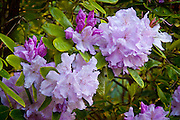 This rhododendron is growing in my friend's beautiful garden. He has many different varieties of rhodies.